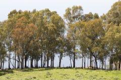 Alberi in una fila sulla Sicilia Fotografie Stock
