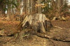 Alberi in una foresta Immagini Stock Libere da Diritti
