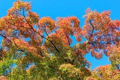 Alberi variopinti con il fondo del cielo blu Fotografia Stock