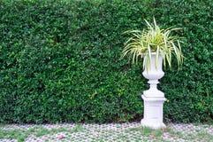 Alberi in vasi con il fondo della parete delle foglie verdi immagini stock libere da diritti