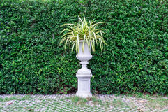 Alberi in vasi con il fondo della parete delle foglie verdi Fotografia Stock
