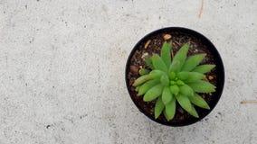 Alberi in vasi, piante ornamentali, foglie verdi, famiglia di vera dell'aloe Fotografia Stock Libera da Diritti