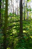 Alberi verde-cupo in foresta immagine stock