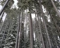 Alberi verdi alti nell'ambiente della montagna della neve Fotografie Stock Libere da Diritti