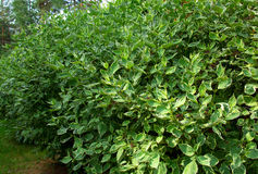 Alberi verdi coltivati di ficus di benjamin Immagini Stock Libere da Diritti