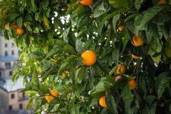 Alberi verdi con le arance alla città di Riomaggiore, Cinque Terre, Italia fotografia stock