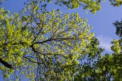 Alberi verdi veduti da sotto Fotografie Stock