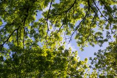 Alberi verdi veduti da sotto Fotografia Stock