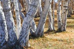 Alberi vicini in sole in Wulanbutong in Mongolia Interna fotografia stock libera da diritti