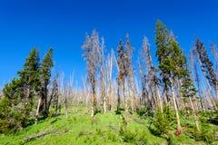 Alberi in Yellowstone fotografie stock libere da diritti