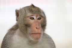 Albern Sie, Affegesichtsporträt, Dschungel-Affeabschluß oben, Affe-Affe herum Stockfotos