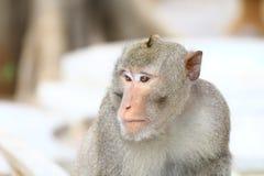 Albern Sie, Affegesichtsporträt, Dschungel-Affeabschluß oben, Affe-Affe herum Stockbild