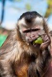 Albern Sie (büscheliger Capuchin) eatin Traube herum Lizenzfreies Stockbild
