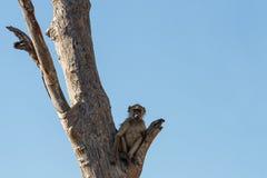 Albern Sie Chacma-Pavian-Familien-, Afrika-Safariwild lebende tiere und Wildnis herum Lizenzfreie Stockfotografie