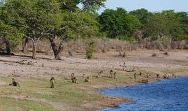 Albern Sie Chacma-Pavian-Familien-, Afrika-Safariwild lebende tiere und Wildnis herum Lizenzfreies Stockfoto