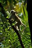 Albern Sie Chlorocebus-pygerythrus im Wald von Victoria Falls herum stockfoto