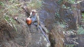 Albern Sie das Essen der Kokosnuss und das Genießen bis zum den Ravana-Fällen in Ella, Sri Lanka herum stock footage