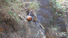 Albern Sie das Essen der Kokosnuss und das Genießen bis zum den Ravana-Fällen in Ella, Sri Lanka herum stock video