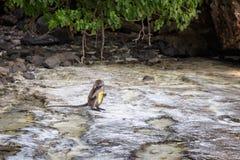 Albern Sie das Essen einer Banane, Affe-Strand, Phi Phi Don-Insel, Phi Phi Islands Thailand herum Stockfotos