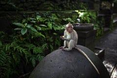 Albern Sie das Sitzen auf dem Stein um grünen Dschungel im Ubud-Affe-Wald, Bali, Indonesien herum Lizenzfreies Stockbild
