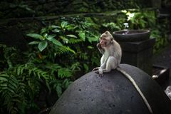Albern Sie das Sitzen auf dem Stein um grünen Dschungel im Ubud-Affe-Wald, Bali, Indonesien herum stockfoto