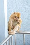 Albern Sie das Sitzen auf der Spitzenseilbahnstation von Gibraltar herum Lizenzfreie Stockbilder
