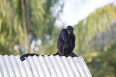 Albern Sie das Sitzen im Freienpark, Manaus, Brasilien herum Lizenzfreie Stockfotografie