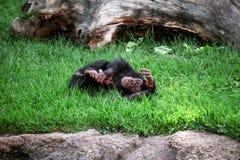Albern Sie den entspannenden Schimpansen herum und genießt, auf dem Gras zu liegen Lizenzfreie Stockfotografie