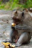 Albern Sie den Rhesusfaktor-Makaken herum, der eine Banane sitzt und isst Stockbild