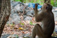 Albern Sie den Rhesusfaktor-Makaken herum, der von einer Wasserflasche trinkt Lizenzfreie Stockbilder