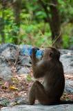 Albern Sie den Rhesusfaktor-Makaken herum, der von einer Wasserflasche trinkt Lizenzfreies Stockbild