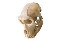 Albern Sie den Schädel herum, der auf Weiß, Horror-Hintergrund lokalisiert wird Lizenzfreies Stockbild