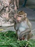 Albern Sie, der langschwänzige Makaken oder Krabbe herum, die den Makaken isst und ADN finden Lebensmittel in einem Zoo nahe bei  Lizenzfreies Stockfoto