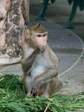 Albern Sie, der langschwänzige Makaken oder Krabbe herum, die den Makaken isst und ADN finden Lebensmittel in einem Zoo nahe bei  Lizenzfreie Stockfotos