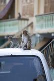 Albern Sie, der Makaken herum, der auf dem Dach eines Autos auf einer Stadtstraße sitzt Lizenzfreie Stockfotos