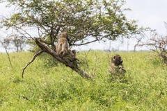 Albern Sie die Entspannung im Busch innerhalb Nationalparks Kruger herum Lizenzfreies Stockfoto