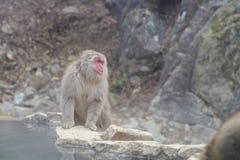 Albern Sie in einem natürlichen onsen (heiße Quelle) herum, gefunden im Jigokudani-Affe-Park oder im Schnee-Affen Stockfotografie