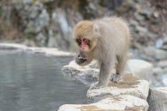Albern Sie in einem natürlichen onsen (heiße Quelle) herum, gefunden im Jigokudani-Affe-Park oder im Schnee-Affen Lizenzfreies Stockfoto