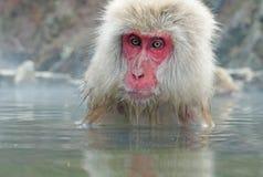 Albern Sie in einem natürlichen onsen (heiße Quelle) herum, gefunden im Schnee-Affen, Nagono Japan Stockfotos