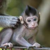 Albern Sie Familie am heiligen Affewald Ubud Bali Indonesien herum Stockfoto