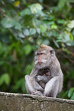 Albern Sie Familie am heiligen Affewald Ubud Bali Indonesien herum Lizenzfreies Stockfoto
