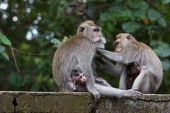 Albern Sie Familie am heiligen Affewald Ubud Bali Indonesien herum Stockbilder