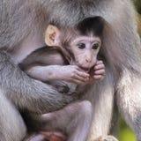Albern Sie Familie am heiligen Affewald Ubud Bali Indonesien herum Stockfotos