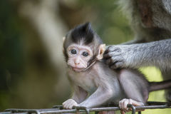 Albern Sie Familie am heiligen Affewald Ubud Bali Indonesien herum Lizenzfreie Stockfotos