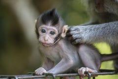 Albern Sie Familie am heiligen Affewald Ubud Bali Indonesien herum Stockfotografie