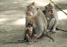 Albern Sie Familie in heiligen Forest Sanctuary, Bali, Indonesien herum Stockfotos