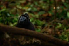 Albern Sie im dunklen Wald-Celebes erklommenen Makaken, Macaca Nigra, schwarzer Affe mit offenem Mund mit dem großen Zahn herum u Lizenzfreies Stockbild