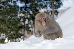 Albern Sie japanischen Makaken, Macaca fuscata herum und auf dem Schnee sitzen, Hokkaido, Japan Stockfotografie