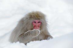 Albern Sie japanischen Makaken, Macaca fuscata herum und auf dem Schnee sitzen, Hokkaido, Japan Stockfoto