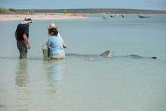 ALBERN Sie MIA, AUSTRALIEN - AUGUST, 28, 2015 - Delphine nahe dem Ufer kontaktieren Menschen herum Stockbild